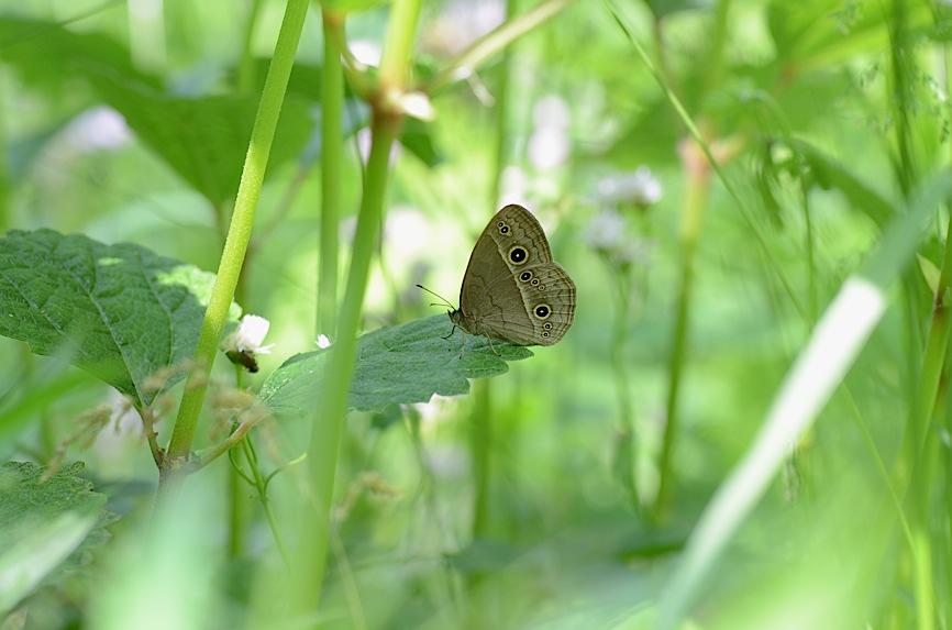 よく見る蝶たち−−ツマグロヒョウモンほか(2013年5月24日) _d0303129_2141591.jpg