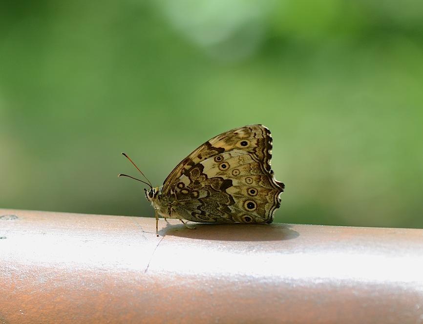 よく見る蝶たち−−ツマグロヒョウモンほか(2013年5月24日) _d0303129_215376.jpg