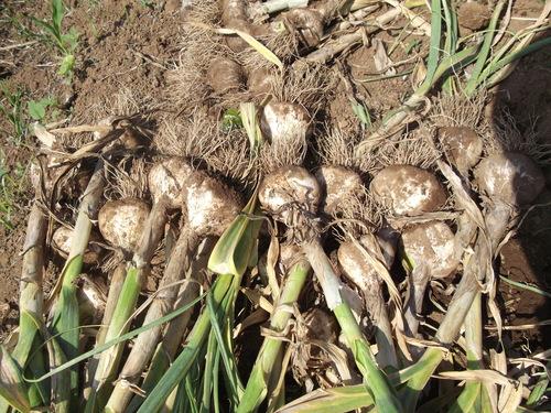 ニンニク&豆の収穫_b0137932_20425496.jpg
