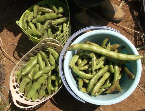 ニンニク&豆の収穫_b0137932_2043556.jpg