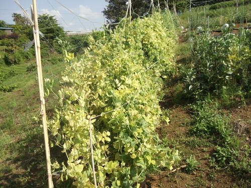 ニンニク&豆の収穫_b0137932_2043577.jpg