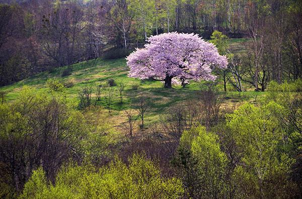 亀が森の一本桜_a0165546_5193811.jpg