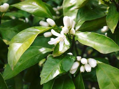 ザ・みかん みかんの花咲く様子(2020年)と春草を有機肥料に!!元気いっぱいの果樹で育てます!!_a0254656_18255871.jpg