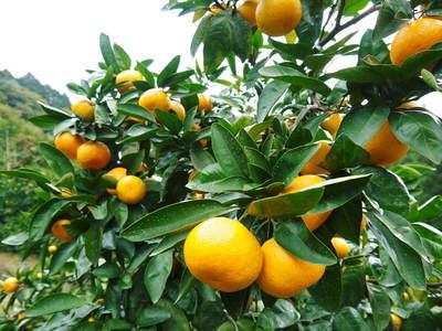 ザ・みかん みかんの花咲く様子(2020年)と春草を有機肥料に!!元気いっぱいの果樹で育てます!!_a0254656_18401225.jpg