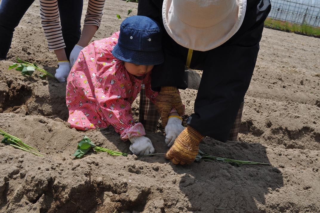 『シルじぃちゃん先生と一緒にサツマイモの苗を植えよう.』:5月24日金曜日_b0079382_13502423.jpg
