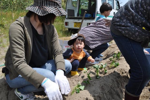 『シルじぃちゃん先生と一緒にサツマイモの苗を植えよう.』:5月24日金曜日_b0079382_13503221.jpg