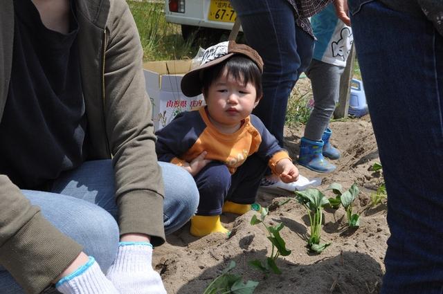 『シルじぃちゃん先生と一緒にサツマイモの苗を植えよう.』:5月24日金曜日_b0079382_13504139.jpg