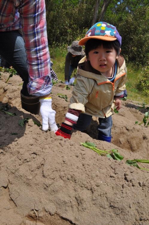 『シルじぃちゃん先生と一緒にサツマイモの苗を植えよう.』:5月24日金曜日_b0079382_13505925.jpg