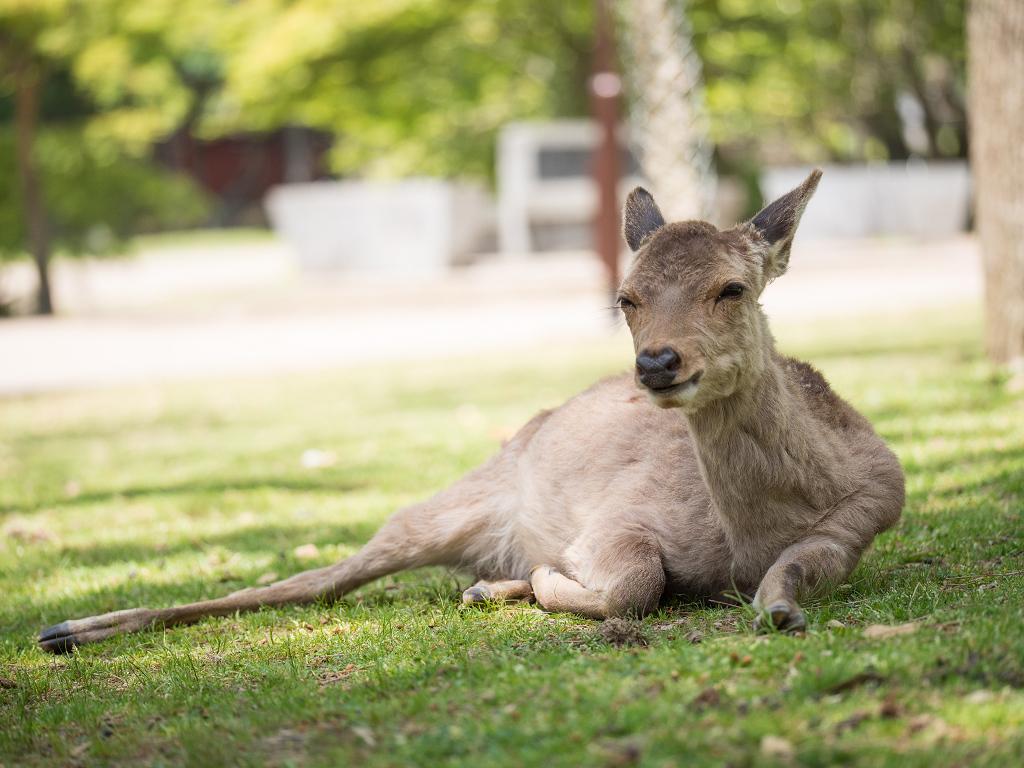 「パナソニック12-35mm、35-100mm初撮りPart2~奈良公園の鹿~」_a0133692_15384660.jpg