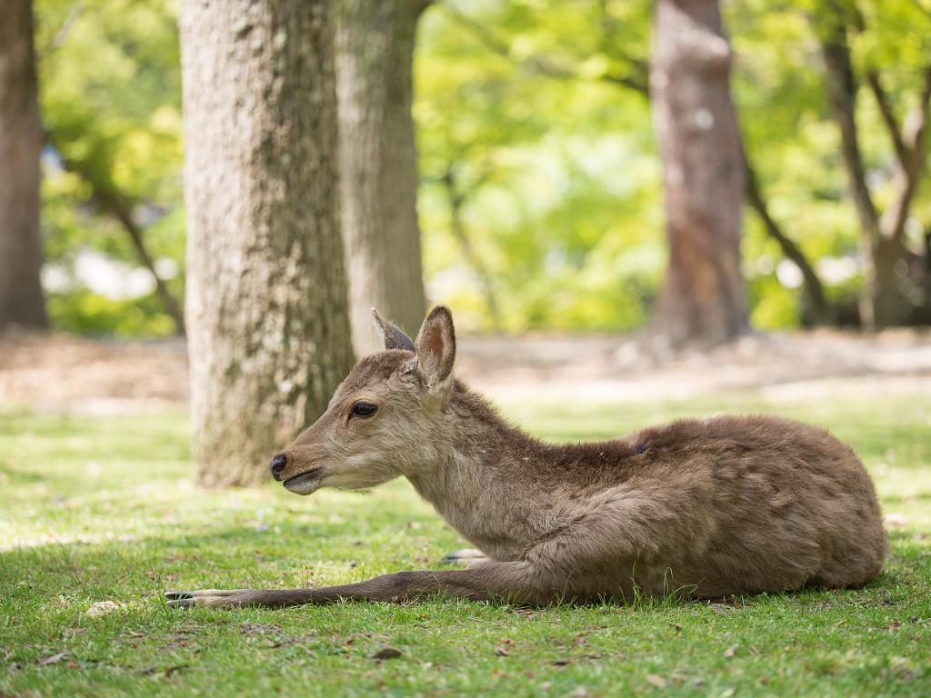「パナソニック12-35mm、35-100mm初撮りPart2~奈良公園の鹿~」_a0133692_15445828.jpg