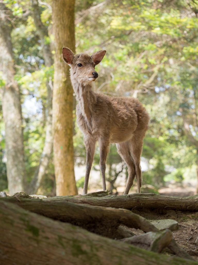 「パナソニック12-35mm、35-100mm初撮りPart2~奈良公園の鹿~」_a0133692_15492560.jpg