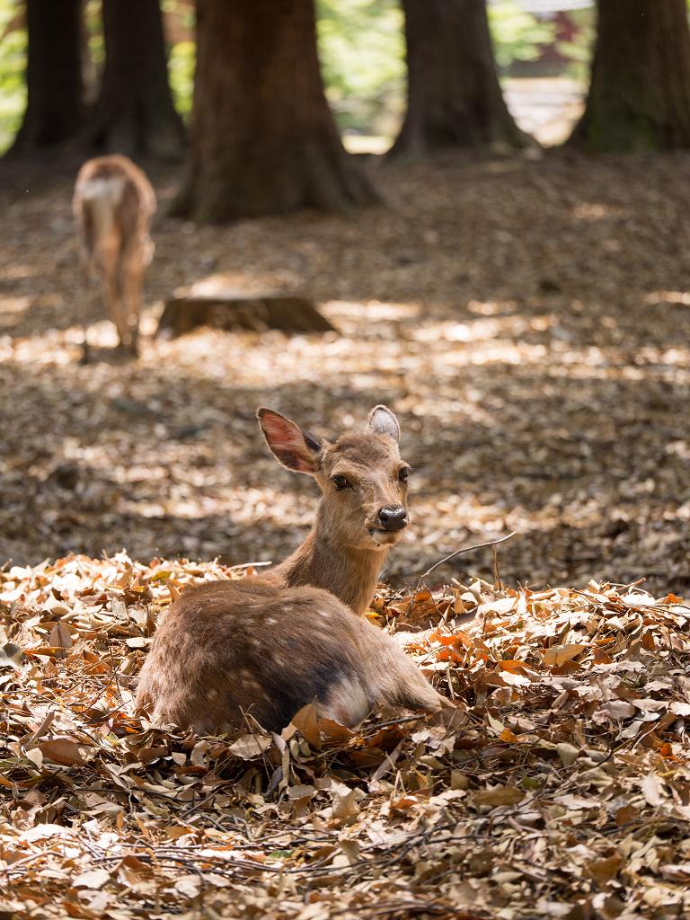 「パナソニック12-35mm、35-100mm初撮りPart2~奈良公園の鹿~」_a0133692_15523281.jpg