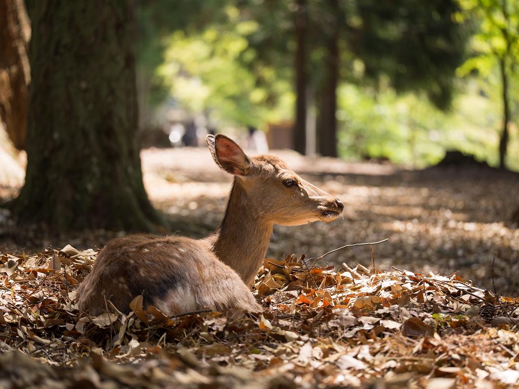 「パナソニック12-35mm、35-100mm初撮りPart2~奈良公園の鹿~」_a0133692_15554331.jpg