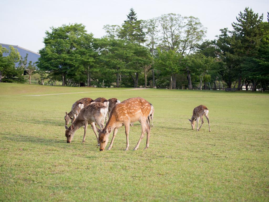 「パナソニック12-35mm、35-100mm初撮りPart2~奈良公園の鹿~」_a0133692_16122865.jpg