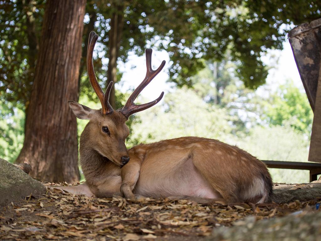 「パナソニック12-35mm、35-100mm初撮りPart2~奈良公園の鹿~」_a0133692_1614051.jpg