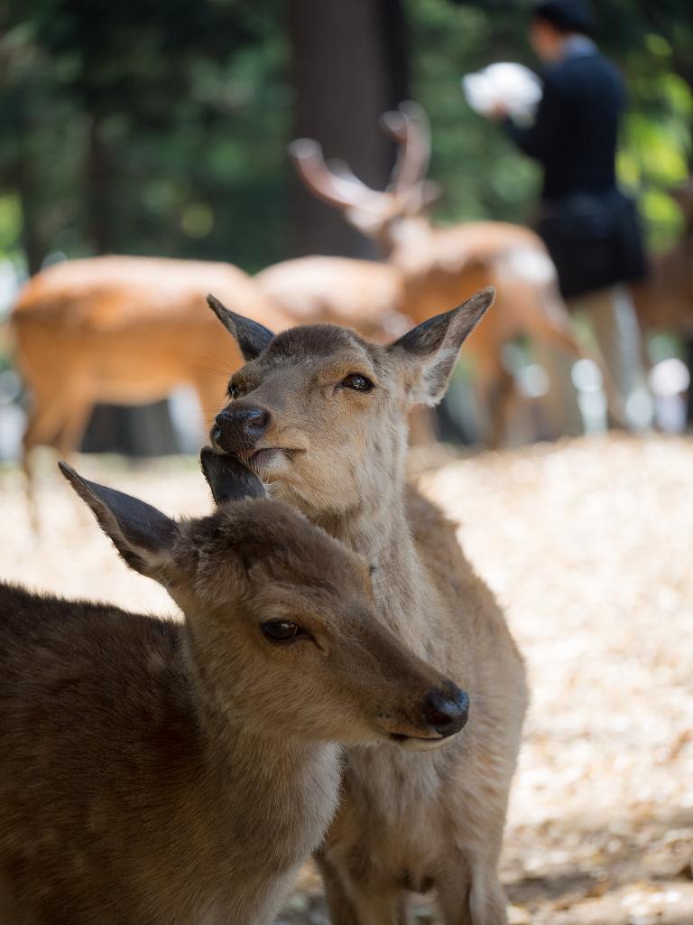 「パナソニック12-35mm、35-100mm初撮りPart2~奈良公園の鹿~」_a0133692_163179.jpg