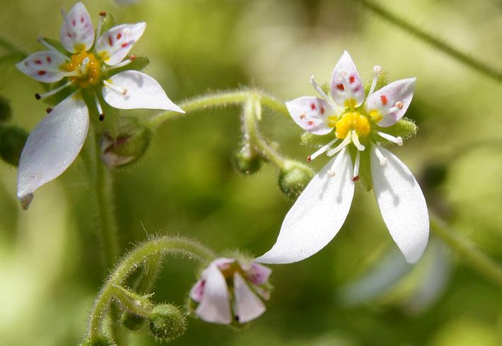 雑草の中に咲くユキノシタ_b0145296_12441444.jpg