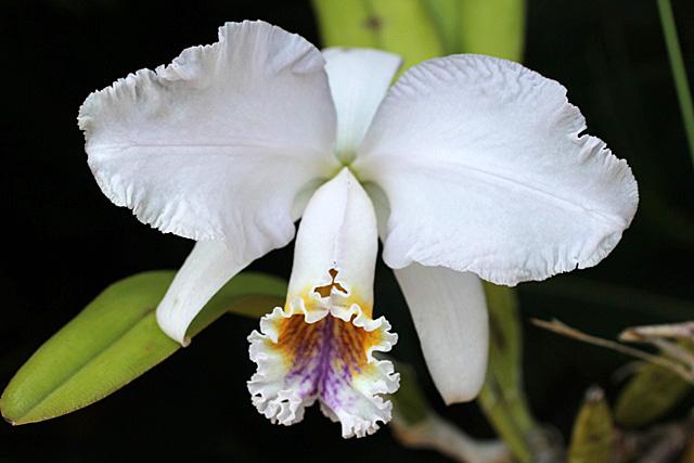 C.mossiae coerulea \'AAA\' _d0007501_17592915.jpg