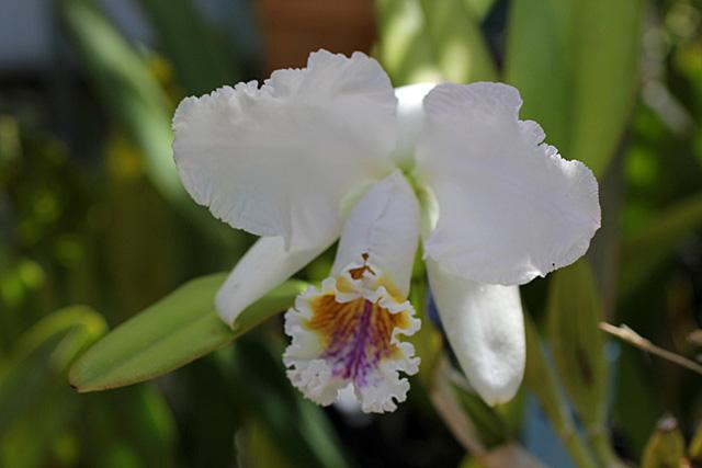 C.mossiae coerulea \'AAA\' _d0007501_1804927.jpg