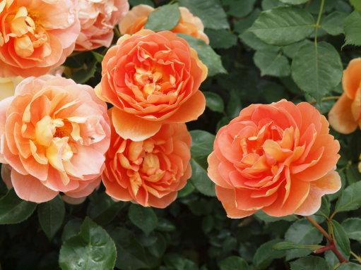 お友達と一緒に藤沢邸のバラ園へ_b0254207_2053847.jpg