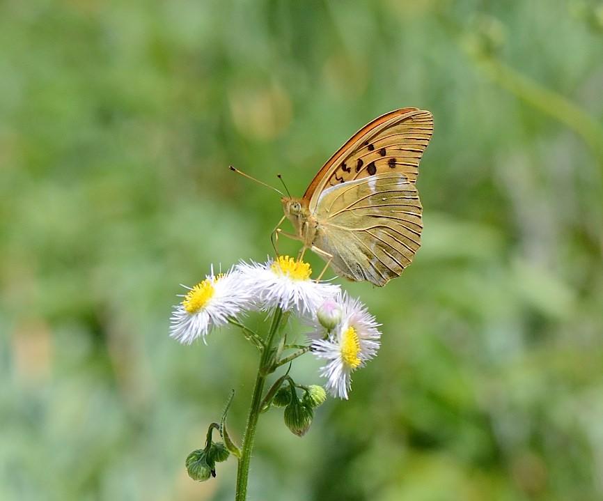 山頂の蝶たち−−クモガタヒョウモンほか(2013年5月26日) _d0303129_23584696.jpg