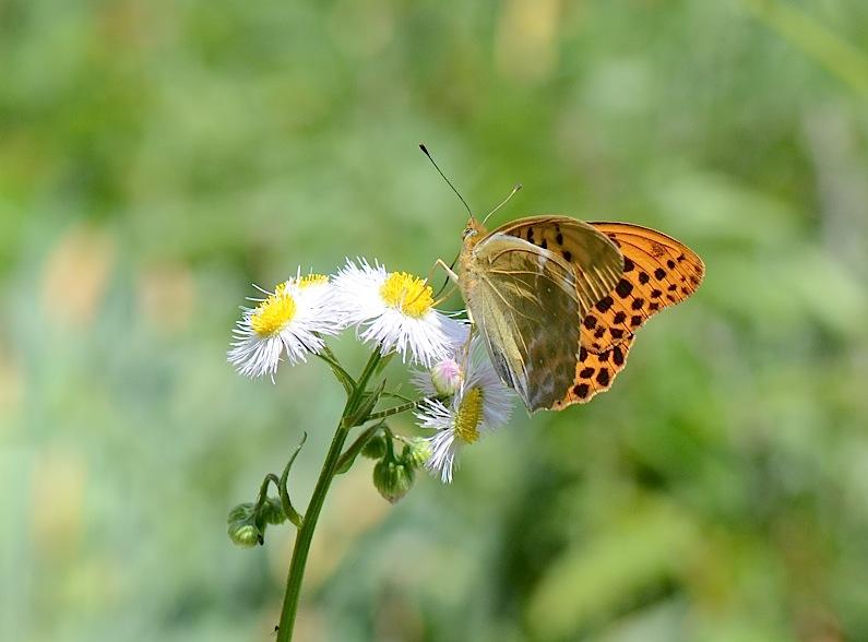 山頂の蝶たち−−クモガタヒョウモンほか(2013年5月26日) _d0303129_23585597.jpg
