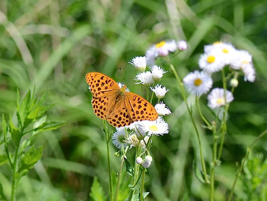 山頂の蝶たち−−クモガタヒョウモンほか(2013年5月26日) _d0303129_23591612.jpg