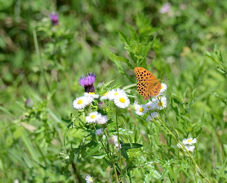 山頂の蝶たち−−クモガタヒョウモンほか(2013年5月26日) _d0303129_2359355.jpg