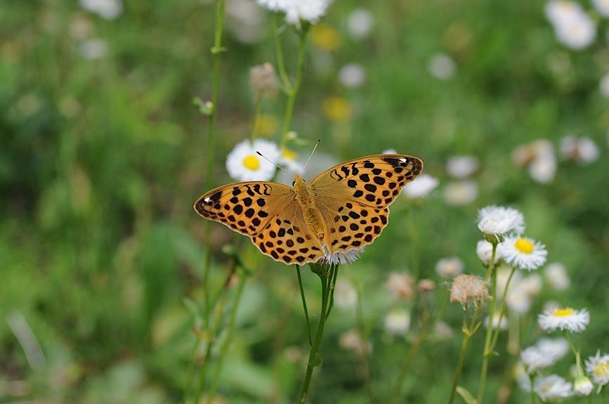 山頂の蝶たち−−クモガタヒョウモンほか(2013年5月26日) _d0303129_2359404.jpg
