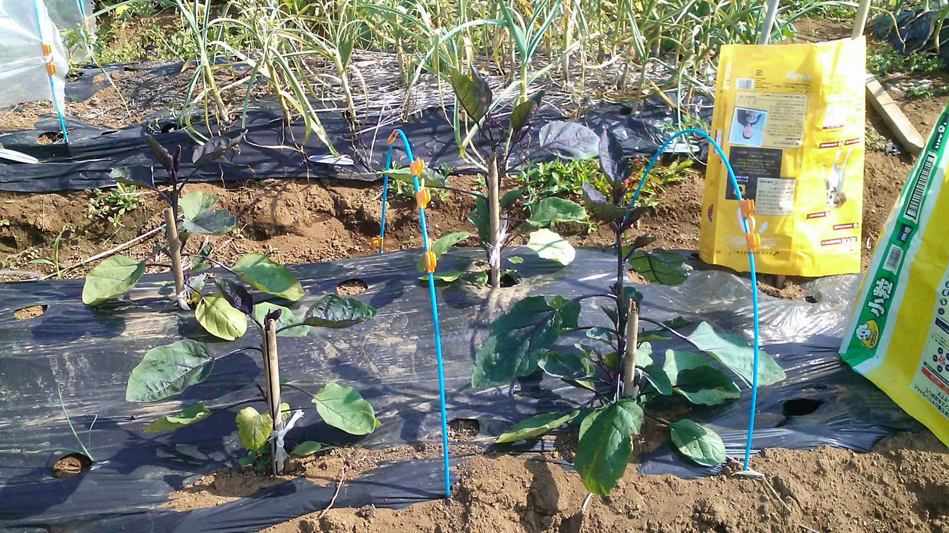 なすの苗も定植しました。_b0137932_22521786.jpg