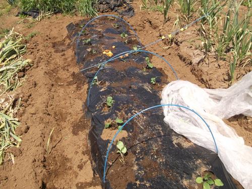 なすの苗も定植しました。_b0137932_2253431.jpg