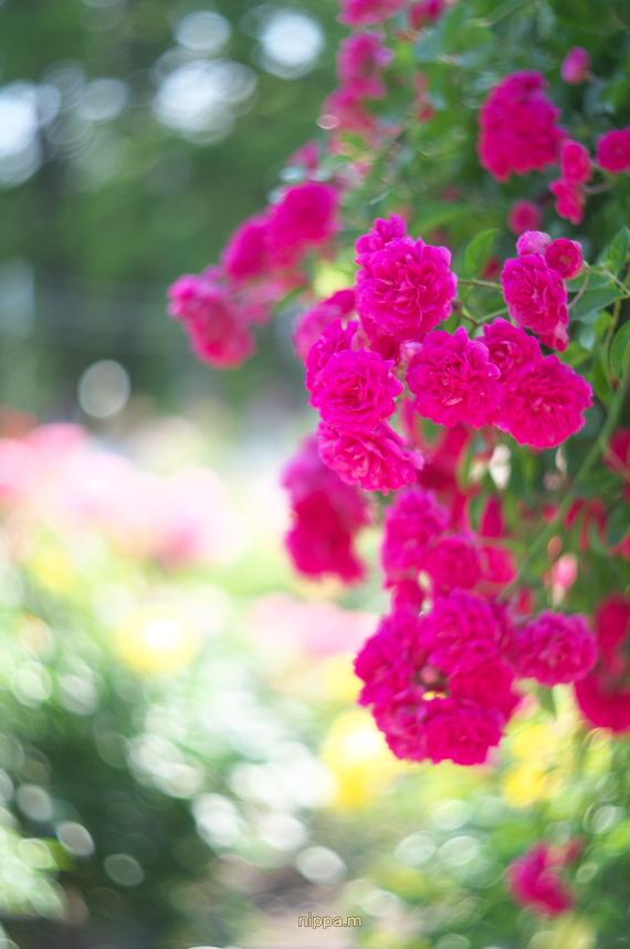 赤いバラ・・_a0258534_23385099.jpg
