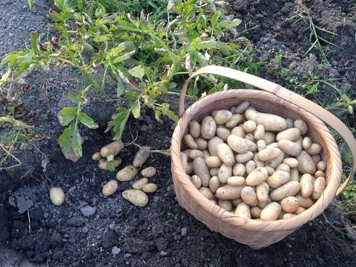 ジャガイモ収穫_b0161750_22114793.jpg