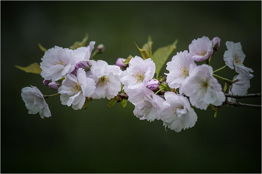 八重桜_d0111087_4243868.jpg