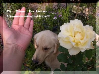 黄薔薇「muumu」後編_e0185787_1902913.jpg