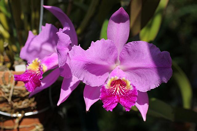 種からの開花&ルデマニアナ_d0007501_11382097.jpg
