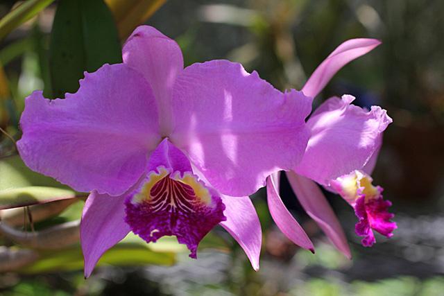 種からの開花&ルデマニアナ_d0007501_11403127.jpg