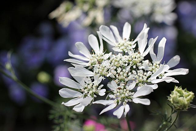 種からの開花&ルデマニアナ_d0007501_1141549.jpg