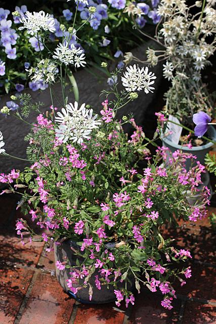 種からの開花&ルデマニアナ_d0007501_1144891.jpg