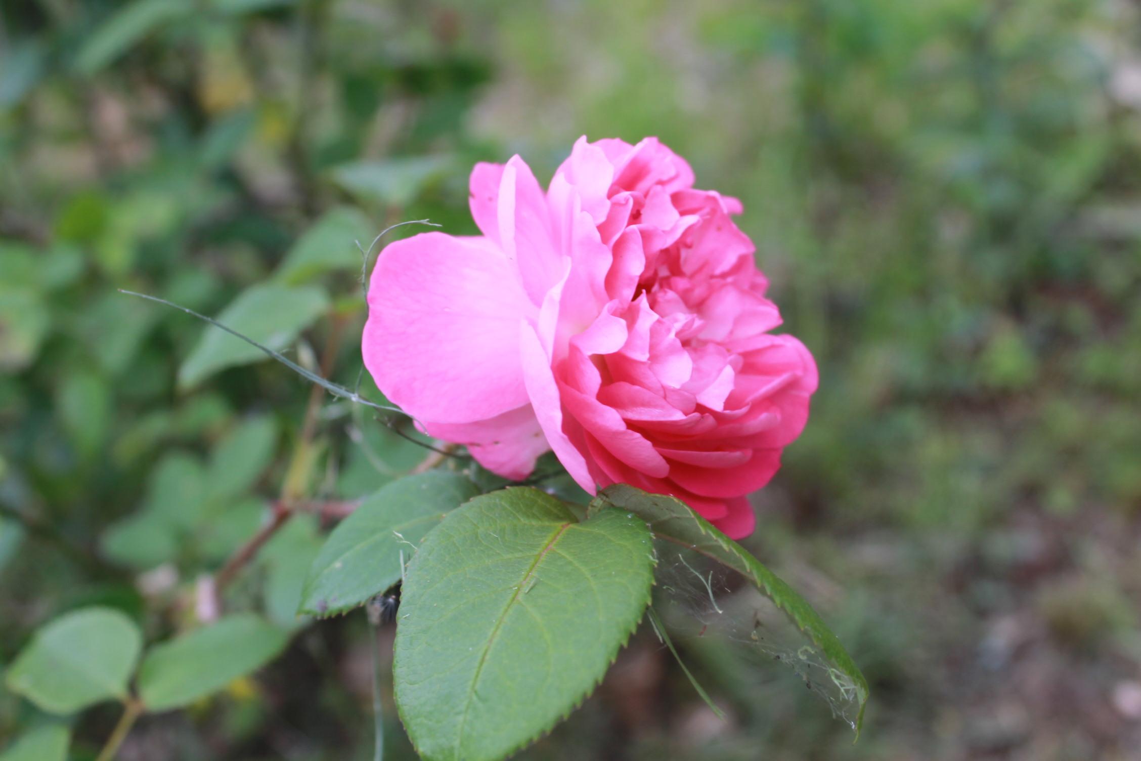 庭のバラ達_e0201009_21401993.jpg