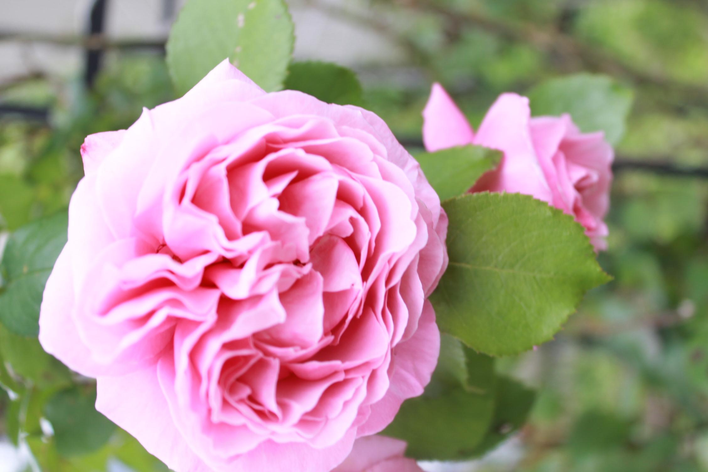 庭のバラ達_e0201009_21415170.jpg