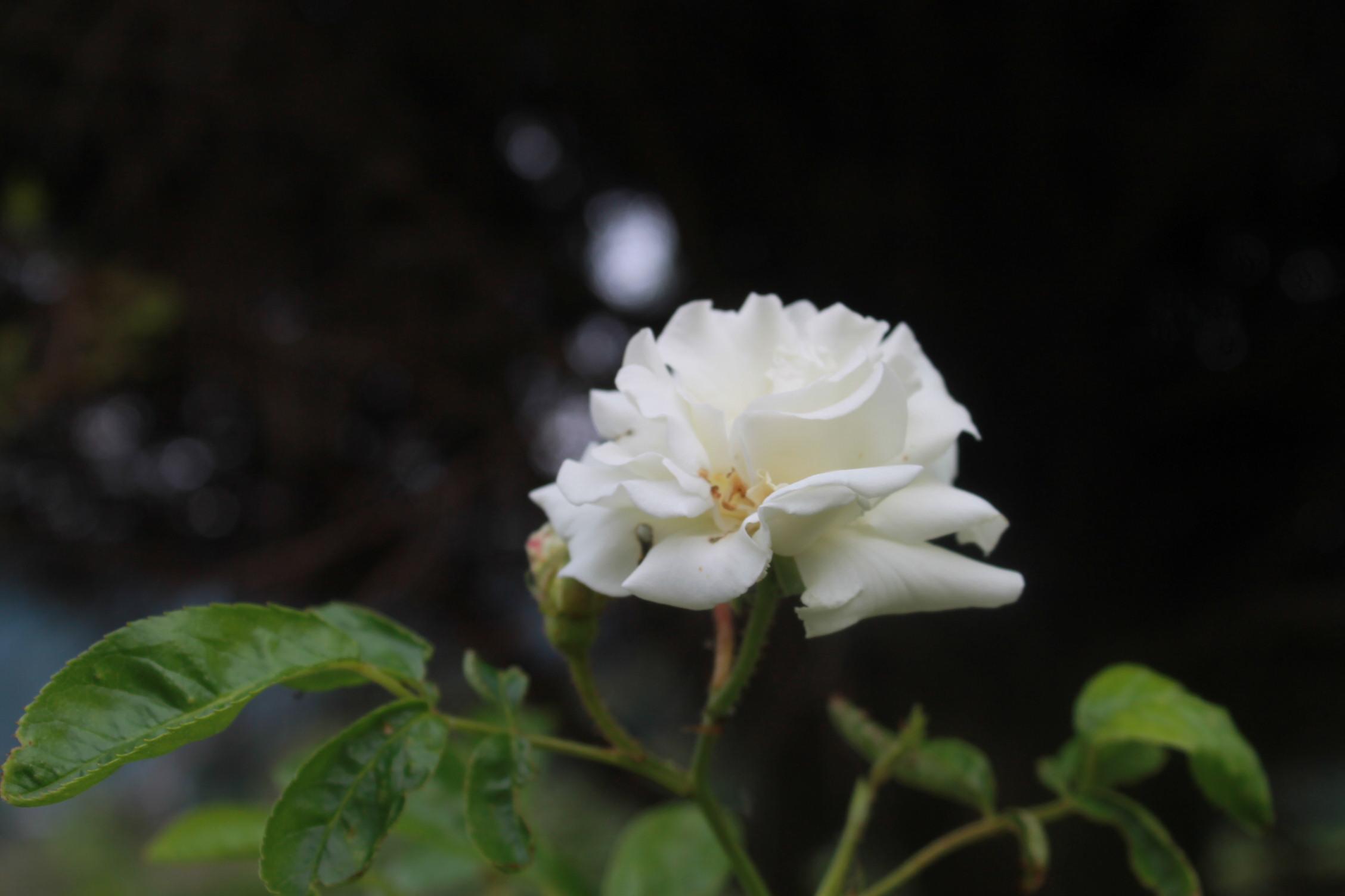 庭のバラ達_e0201009_214244100.jpg