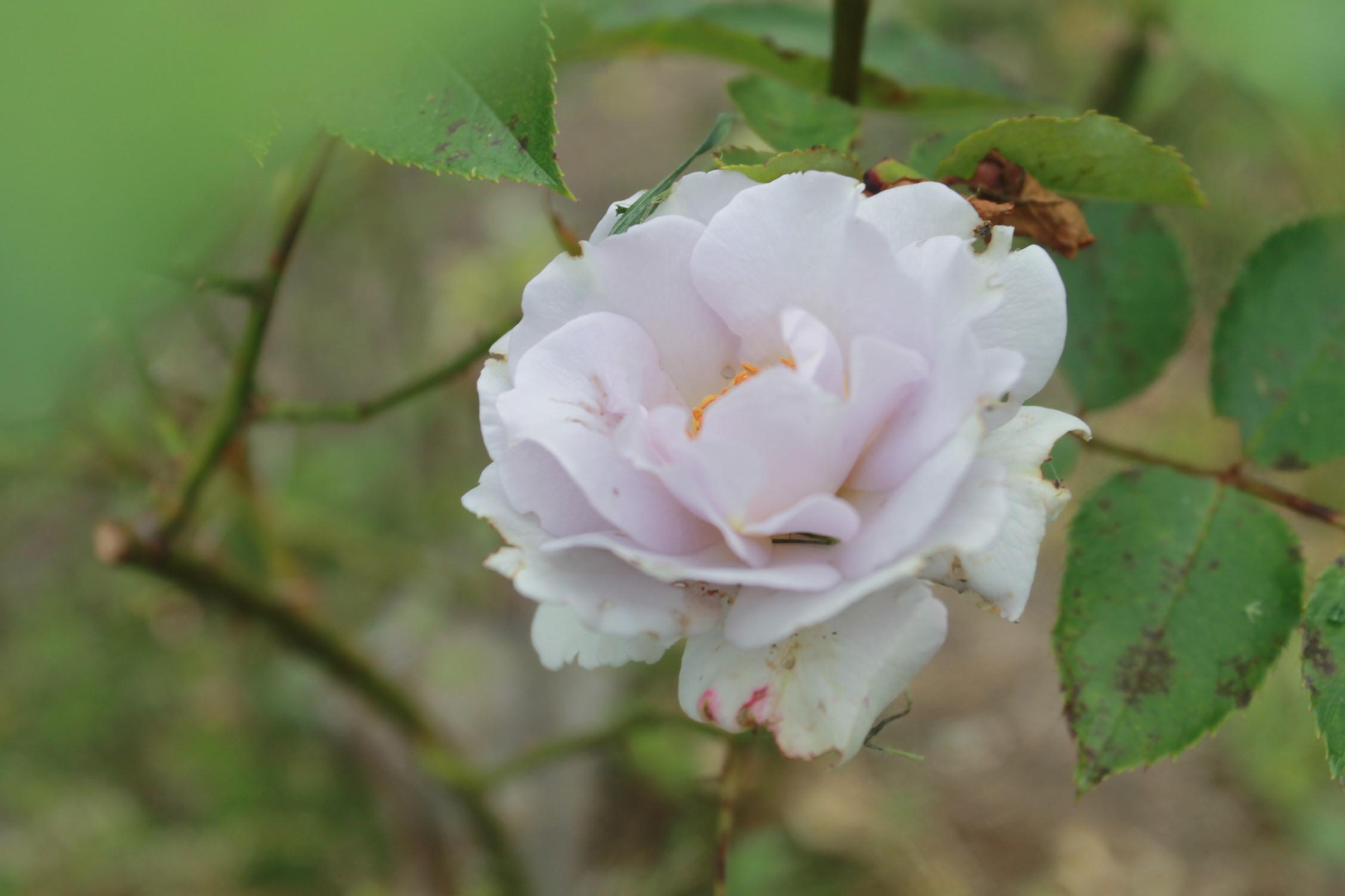 庭のバラ達_e0201009_21424737.jpg
