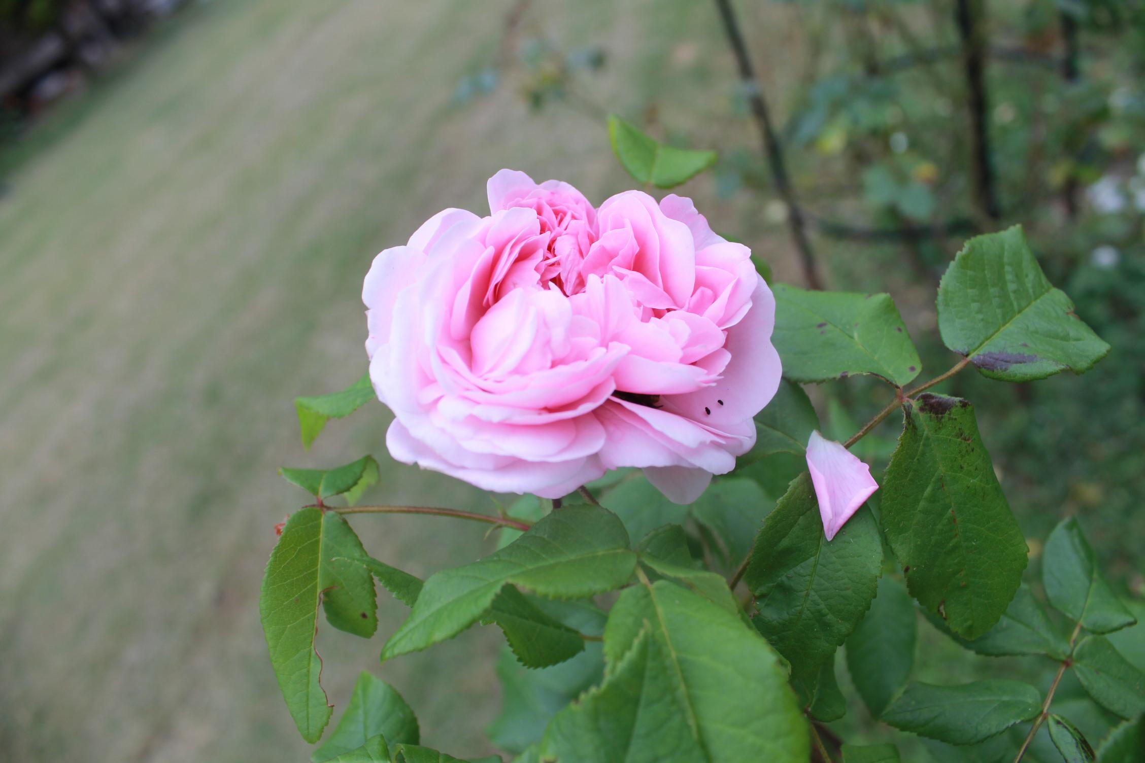 庭のバラ達_e0201009_21434118.jpg