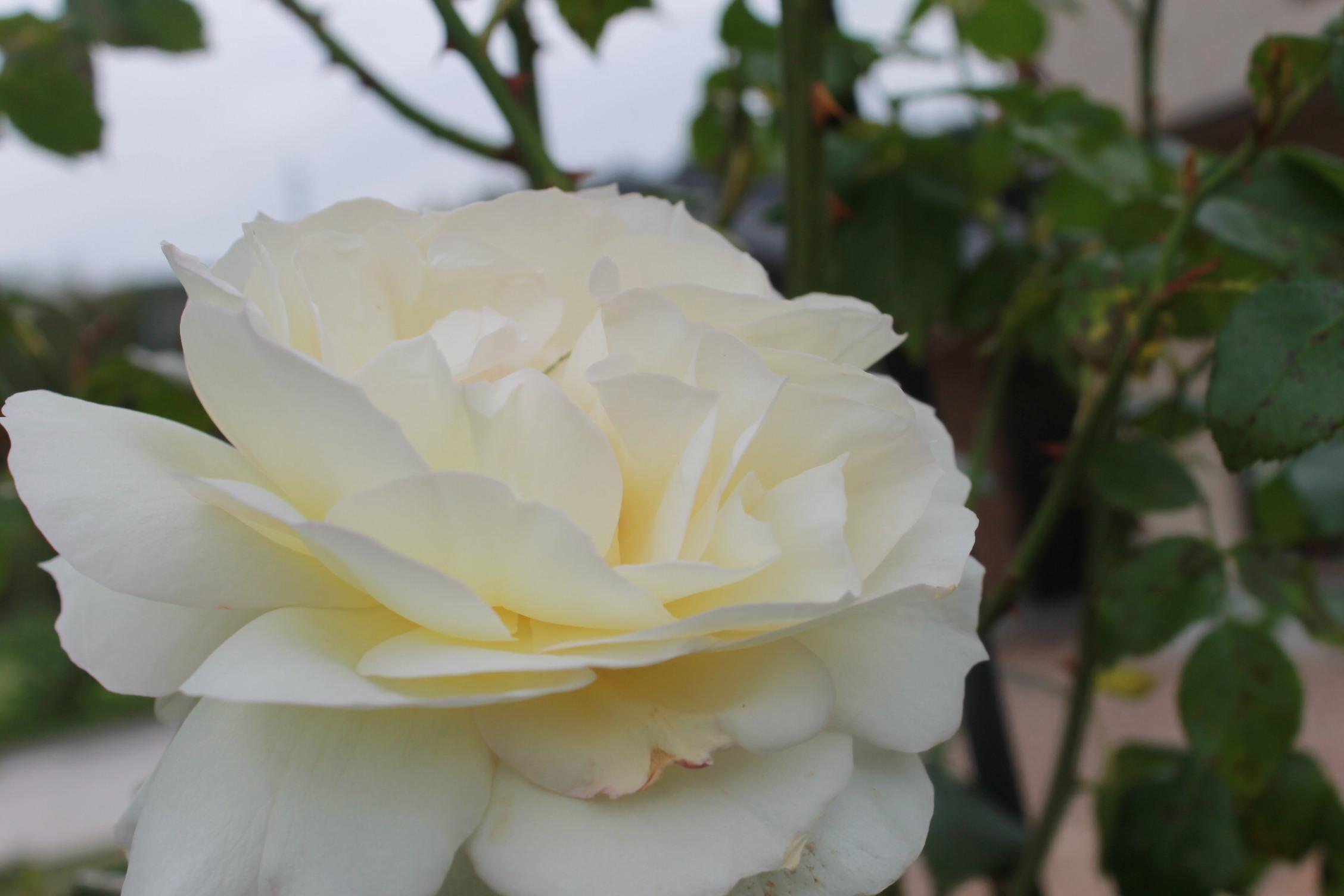 庭のバラ達_e0201009_21441690.jpg