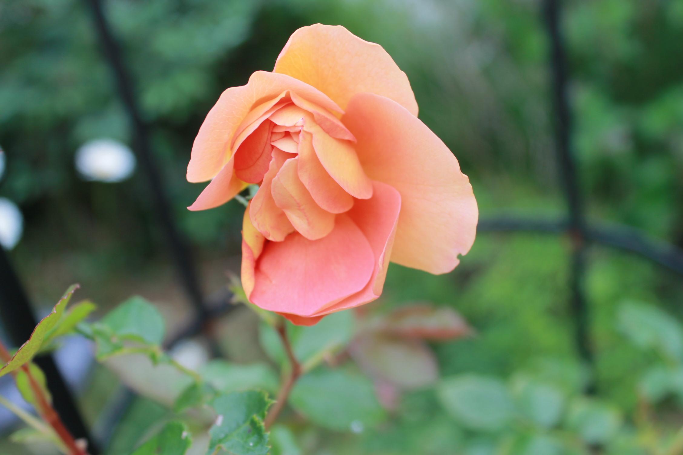 庭のバラ達_e0201009_2154382.jpg