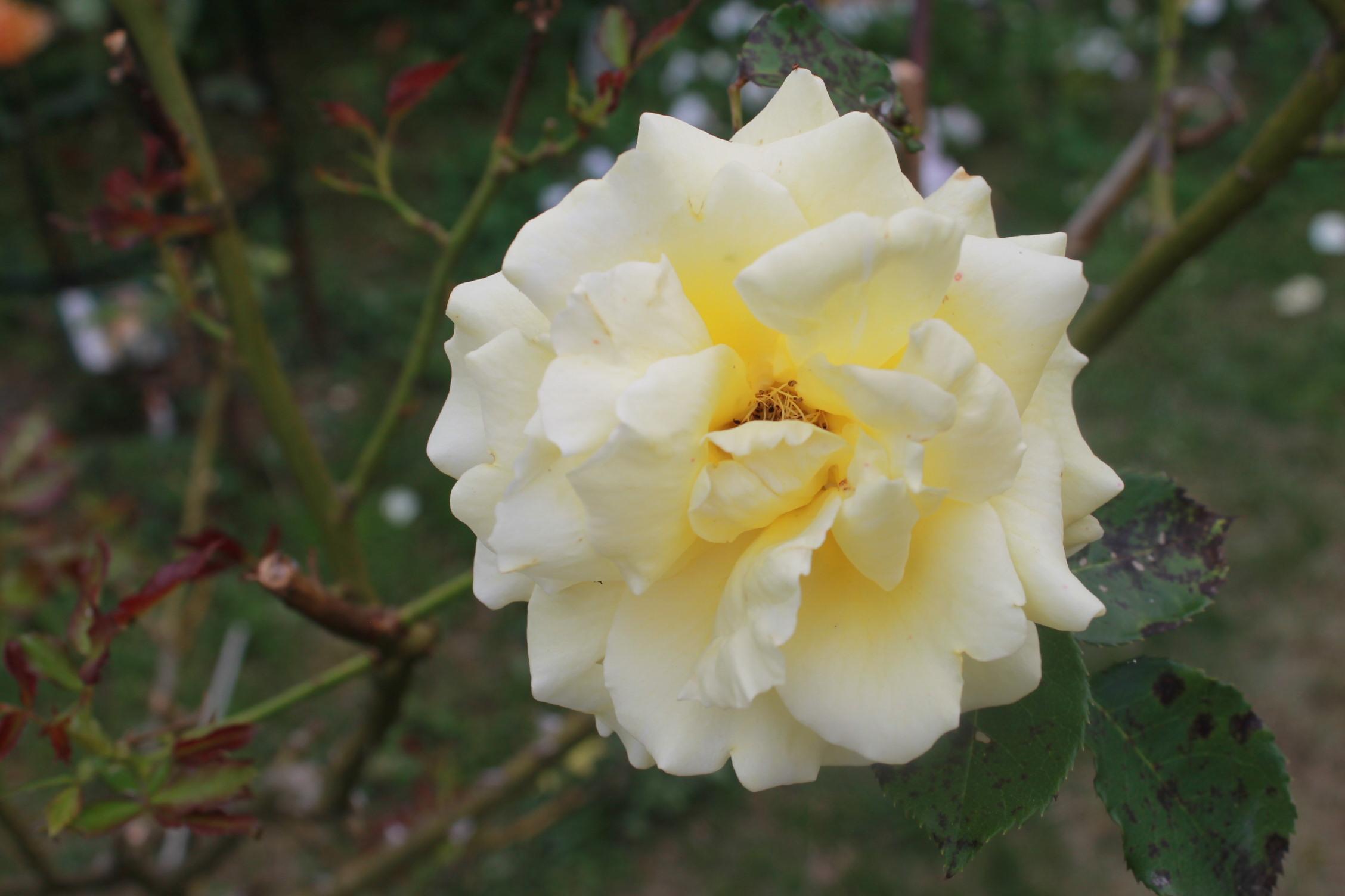庭のバラ達_e0201009_21551319.jpg