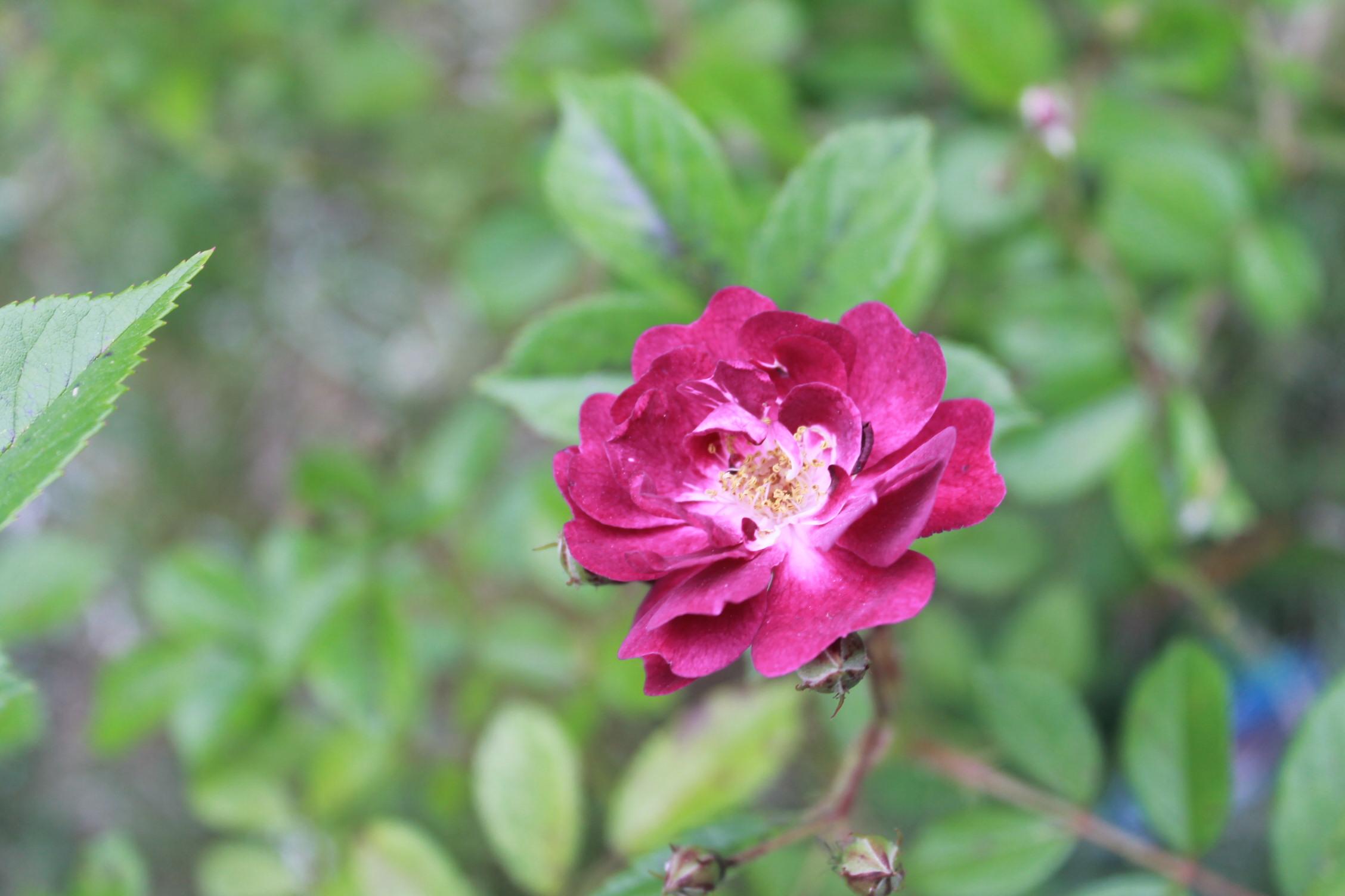 庭のバラ達_e0201009_21564739.jpg