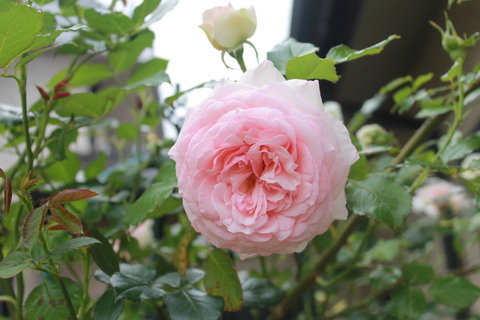 庭のバラ達_e0201009_2156478.jpg