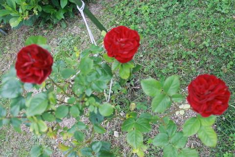庭のバラ達_e0201009_21574311.jpg